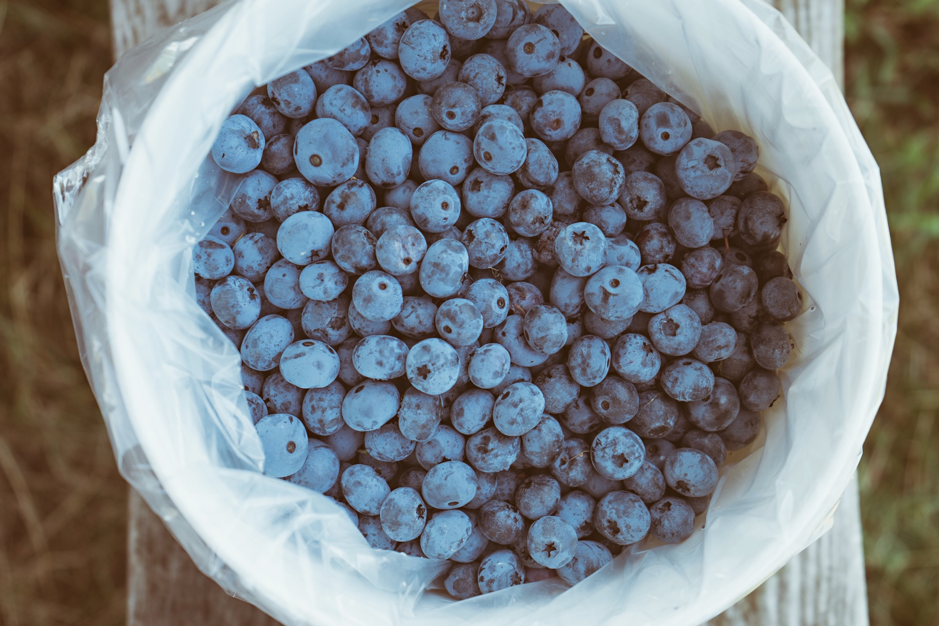 Blueberry Farm   Bolin Grove Farms