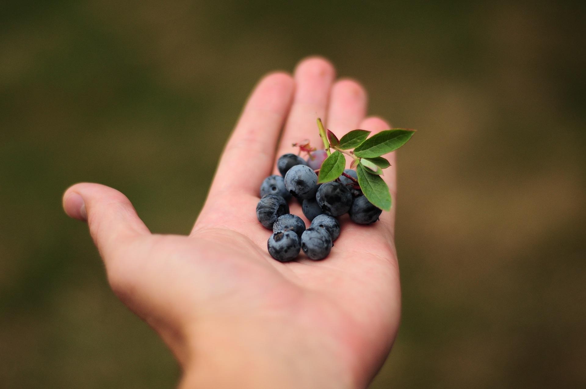Picking Blueberries   Bolin Grove Farms