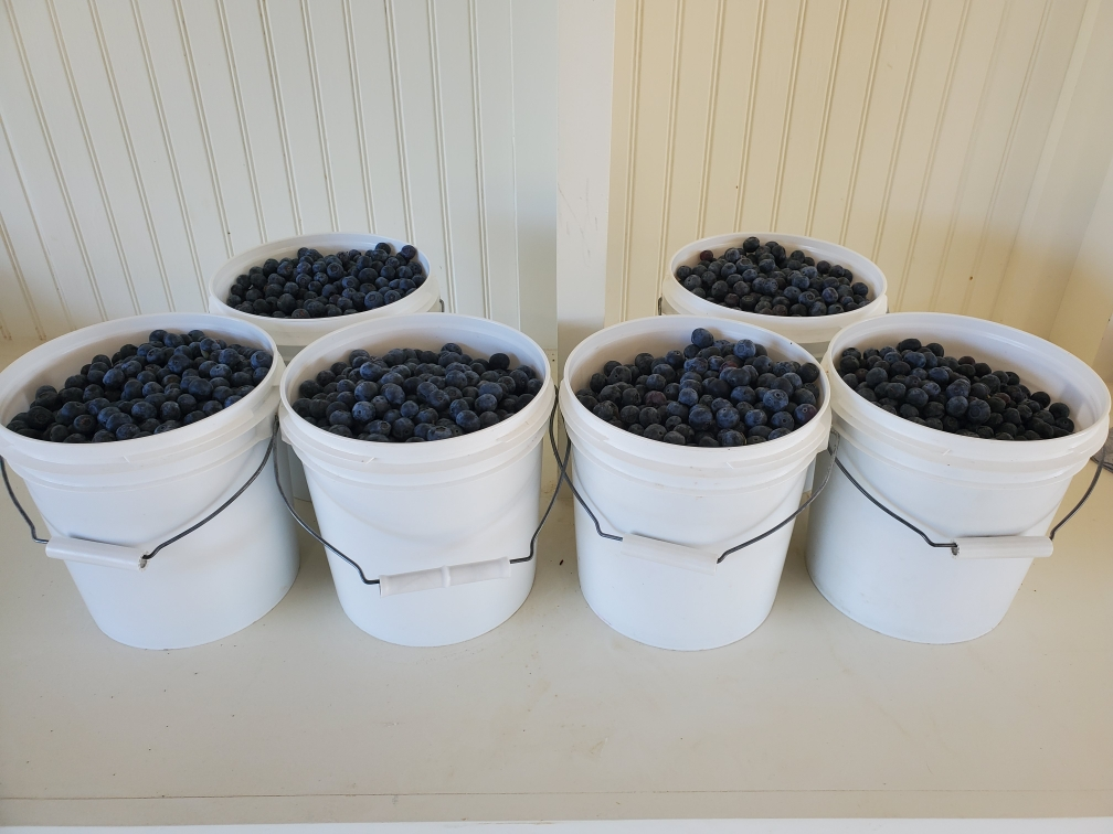 Blueberry buckets at BP
